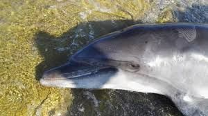 Many Dolphins and two whales have been found dead off the Tuscan coast