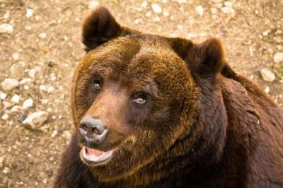 The Marsican Brown Bear