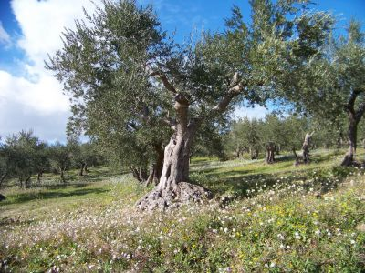 Italians are blaming extreme weather conditions for the plummet in Italy's olive harvest